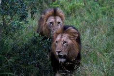 5 Day 4 Night Luxury Safari Packages to Kruger Park / Sabi Sabi Kruger National Park Safari, National Parks, Sand Game, Private Games, Luxury Tents, Luxury Packaging, Game Reserve, Bird Species, Dream Houses