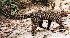 Marbled Cat (Pardofelis marmorata) ........... there are not many pictures of this elusive little wild cat. It lives in the same territories as its cousin the Clouded Leopard.