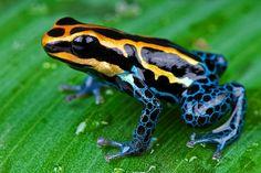 Les Reptiles, Reptiles And Amphibians, Frog Facts, Frog Habitat, Animals Beautiful, Cute Animals, Frog Terrarium, Frog Species, Frog Illustration