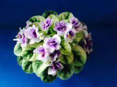 Jolly Andrea H. Saintpaulia, Growing Plants, Houseplants, Orchids, Succulents, African Violet, Violets, Flowers, Bonito