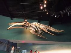 Whale skeleton by Oceanlinerorca
