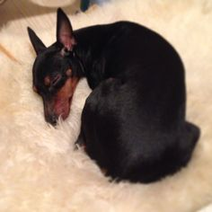 They have the cutest ears! I will miss my old Wubbis once he's gone :( Dog Love, Puppy Love, Toy Manchester Terrier, English Toy Terrier, Min Pins, Dobermans, Sleeping Dogs, Corgis, Terriers
