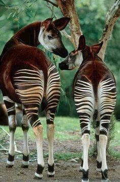 some cute bottoms! Amazing Animals, Unusual Animals, Rare Animals, Animals Beautiful, Animals And Pets, Wild Animals, Animal Original, African Animals, Exotic Pets