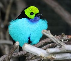 The Paradise Tanager