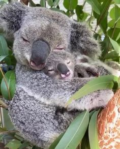 Cute Funny Animals, Cute Baby Animals, Funny Koala, Nature Animals, Animals And Pets, Wild Animals, Wildlife Nature, Australian Wildlife, Australia Animals