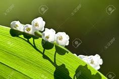 Image result for beautiful pictures of lily of the valley