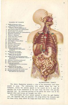 Medical Anatomy Illustration Human Mouth and Jaw Skeleton Alimnetary Tract. $7.50, via Etsy.