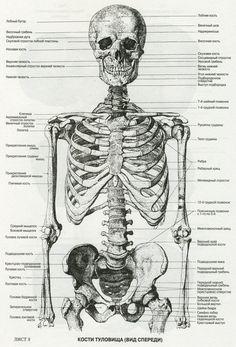 пластическая анатомия кости человека: 15 тыс изображений найдено в Яндекс.Картинках
