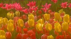 TULIPS FOR YOU! (HAPPY FLOWERS 'DAY!)