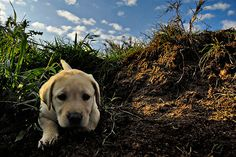 I love a little lab
