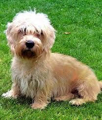 Because of this breed's modest size, a lot of Dandie Dinmont Terriers create Small Dog Syndrome, human induced behaviors where the dog believes he's king of the residence.