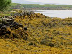 Les algues du Loch Dunvegan, Dunvegan castle, île de Skye, Ross and Cromarty, Highland, Ecosse, Grande-Bretagne, Royaume-Uni. | par byb64