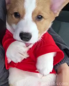 Exceptional pretty dogs information are offered on our web pages. Super Cute Animals, Cute Funny Animals, Cute Baby Animals, Animals And Pets, Cute Cats, Cute Corgi Puppy, Cute Little Puppies, Cute Puppies, Cute Babies