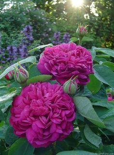 'Rose de Rescht' Bred pre 1900. Damask Portland. Strong damask fragrance.: