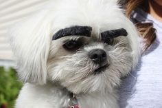 Dogs With Eyebrows #dogswitheyebrows #shihtzu #shichon #bichon