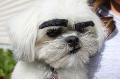 Dogs With Eyebrows #dogswitheyebrows #shihtzu #shichon #bichon