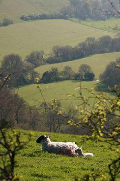Sheep In Dorset