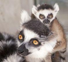 ワオキツネザルの母子。妊娠すると分泌物のにおい成分が変化し、胎児の性別が分かると米デューク大チームが発表した(デューク大提供) ▼26Feb2015時事通信|においで胎児の性別分かる=ワオキツネザルの母親-米大学 http://www.jiji.com/jc/zc?k=201502/2015022600503 #Ring_tailed_lemur #Lemur_catta #环尾狐猴 #環尾狐猴 #Katta #Lémur_catta #ليمور_حلقي_الذيل #Кошачий_лемур #Lemur_ekor_cincin #ワオキツネザル ◆Ring-tailed lemur - Wikipedia https://en.wikipedia.org/wiki/Ring-tailed_lemur