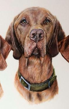 """Sol, one of three Hungarian Vizslas featuring in a huge 33"""" x 23"""" pastel portrait. Perpetual Portraits - Gillian Ussher Art 2015"""