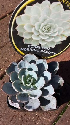 E. 'Morning Beauty' purchased 8.07.15