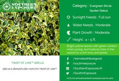 Abelia X Grandiflora Hopleys twist of lime. Bright #yellowleaves with a rich green center. Visit plants.wemakedirtlookgood.com for more #Evergreenshrub