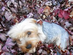 Lost Dog - Yorkshire Terrier Yorkie - Cincinnati, OH, United States 45251
