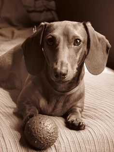 Doxie and dog