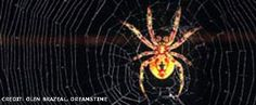 Spider Silk Could Repair Human Ligaments