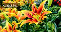colorful asiatic lily flowering yellow and orange center