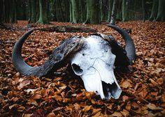 Very large water buffalo skull