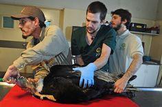 Curación de heridas. Con sus 12 kilos de peso, este cóndor se cortó y fracturó un ala en San Luis al chocar con un cableado. En el zoo lo atenderán durante un año hasta que se recupere. (Rubén Digilio)