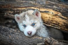 Portrait of the curious husky puppy, playing under a fallen tree in a wild forest