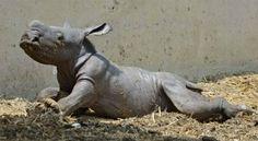baby white rhino - Google Search