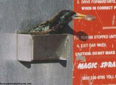 Starling Car Wash - From All Creatures Animal Stories, love, compassion, hearts,. Car Wash Systems, Joke Of The Week, Crow Bird, Starling, Inspiration For Kids, Funny Animals, Birds, God Jesus, Jesus Christ