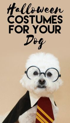Brilliant Halloween Costumes for Your Dog Pet Halloween Costumes, Pet Costumes, Dog Halloween, Happy Halloween, Havanese Puppies, Mini Goldendoodle, Yorkie, Boston Terrier Dog, Dogs Golden Retriever