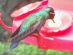Beautiful Humming Birds in the Rain Forest of Costa Rica