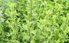 Türkische Minze (Pflanze)