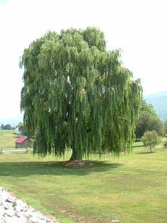 Willow_Tree_by_Dracoart_Stock.jpg (960×1280)