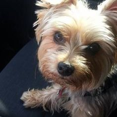 Meet Tito, a Yorkshire Terrier from Brooklyn, NY, United States