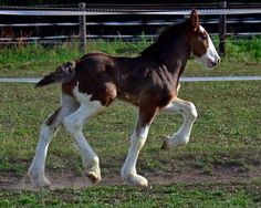 Clydesdale foal exhibiting long socks on the back legs. A strictly Clydesdale trait among draft horses. Big Horses, Work Horses, Horse Love, Black Horses, Funny Horses, All The Pretty Horses, Beautiful Horses, Animals Beautiful, Horse Photos