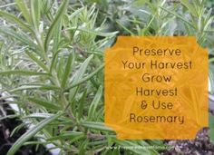 How to Harvest Rosemary - for cooking trim anytime, for drying wait until the plant has just begun to bloom when it has its maximum oil content and flavor. Freeze rosemary in water in ice cube trays to use later for fresh rosemary taste in sauces and soups.