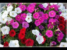 ОБАЛДЕННЫЙ СПОСОБ ПОСЕВА СЕМЯН ПЕТУНИИ НА РАССАДУ!БЫСТРЫЕ ВСХОДЫ! - YouTube Small Farm, Petunias, Garden Design, Floral Wreath, Soda, Wreaths, Plants, Home Decor, Youtube