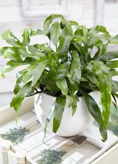 Microsorum diversifolium - Air So Pure Cat Friendly Plants, Photosynthesis, Freundlich, Green Grass, Ferns, Indoor Plants, Shrubs, House Plants, Roots