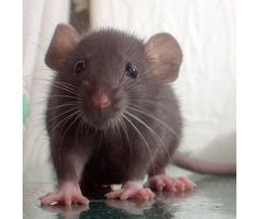 pet rats are the best <3