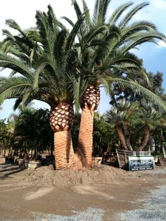 double canary island date palm