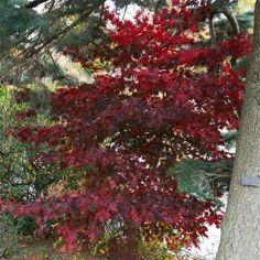 Posts about flowers written by [Amateur Ecologist] Bloodgood Maple, Acer Palmatum, Grands Pots, Plantation, Landscape, Flowers, Plants, Madame, Gardens