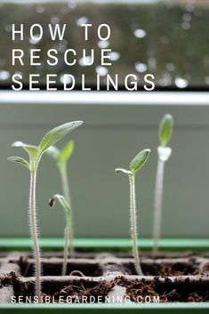 How to rescue seedlings with Sensible Gardening. Started your seeds too early? Spindly seedlings? We can fix that.