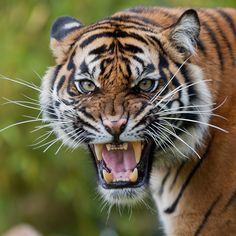Angry tiger Burgers' Zoo | Flickr - Photo Sharing!