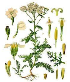 Yarrow botanical print (Achillea millefoliium)