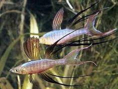 Featherfin Rainbowfish